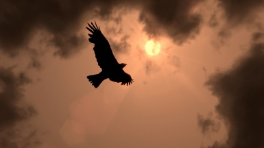 Crow flying in sunset
