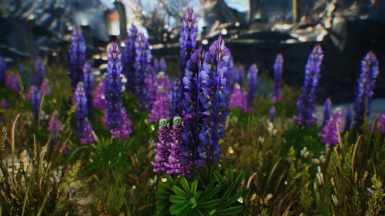 Lupins in Sovngarde
