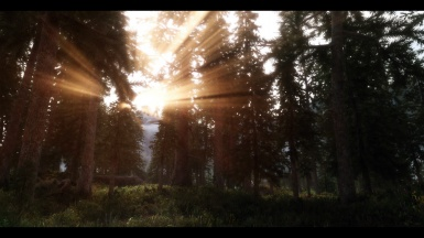 Sunshine in the pine forest