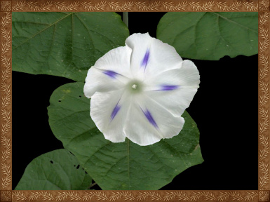 Luna's Photo-Realistic Morning Glory Resource