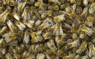 OH GOD BEES