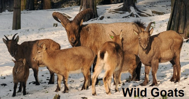 Wild and domestic Goat
