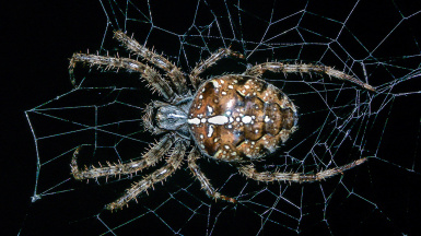 The Real: Araneus diadematus
