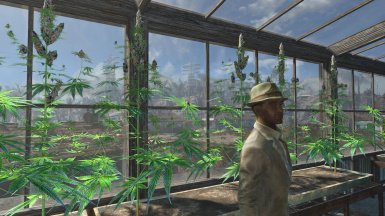 Cannabis Greenhouse