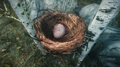 Pine Thrush Nest and Egg.