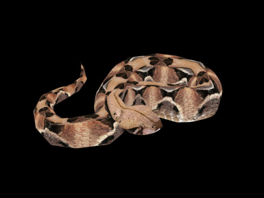 Gaboon viper -Animated Sculpture-